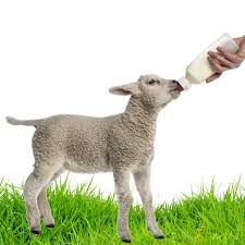 11a 3 lamb